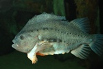 Lompe (Cyclopterus lumpus)